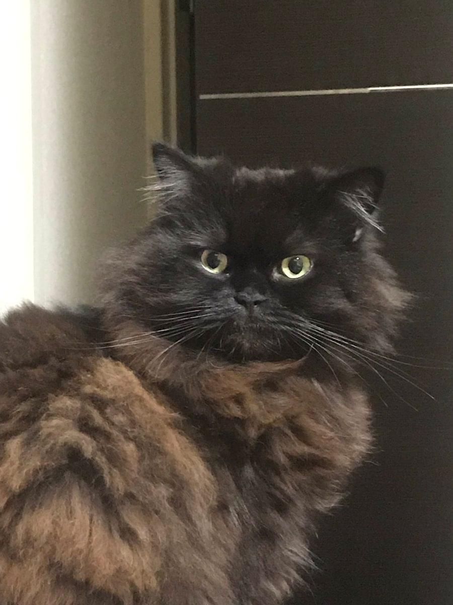 長毛の黒猫 を探しています