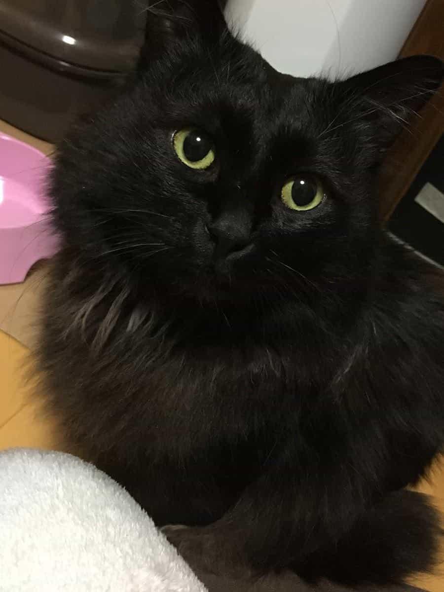 長毛の黒猫♂がいなくなりました。