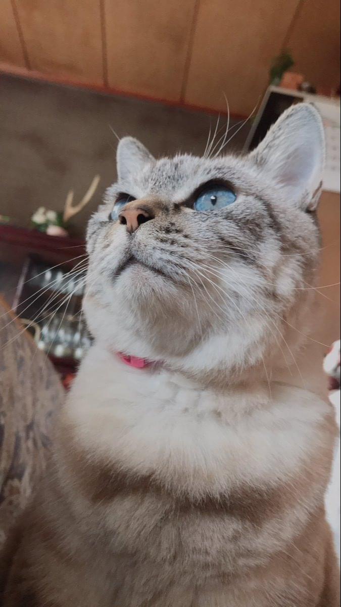 こげ茶と白のミックス猫を探しています
